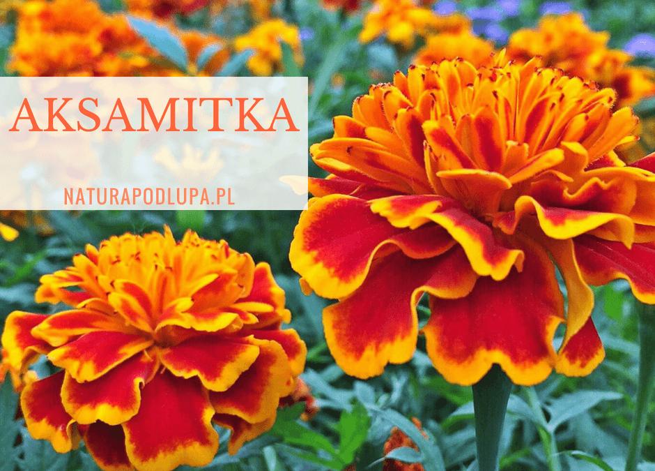 Aksamitki, znane kwiaty o nieznanych właściwościach